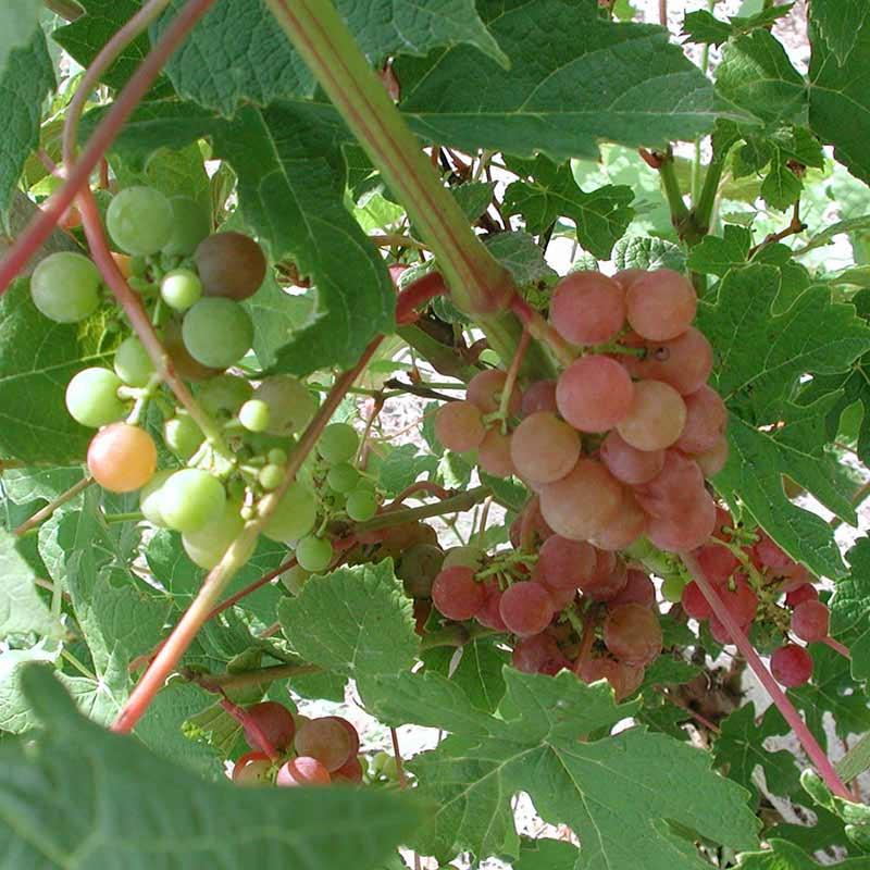 Tickled Pink Grape