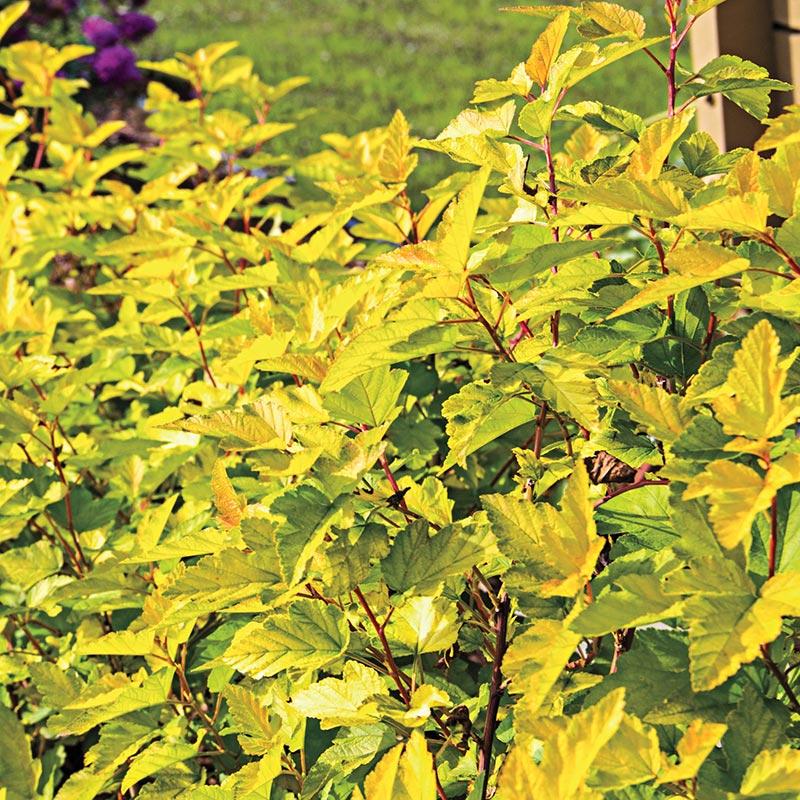 Lemon Candy Ninebark
