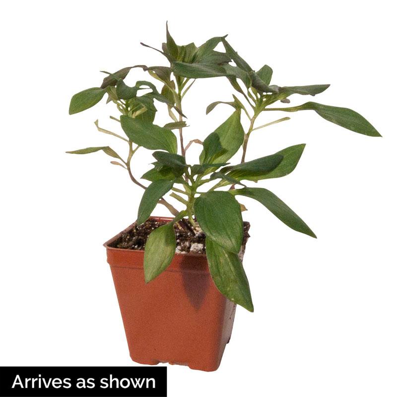 Summer Saint Peruvian Lily