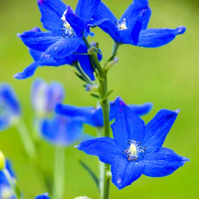 Diamonds Blue Delphinium