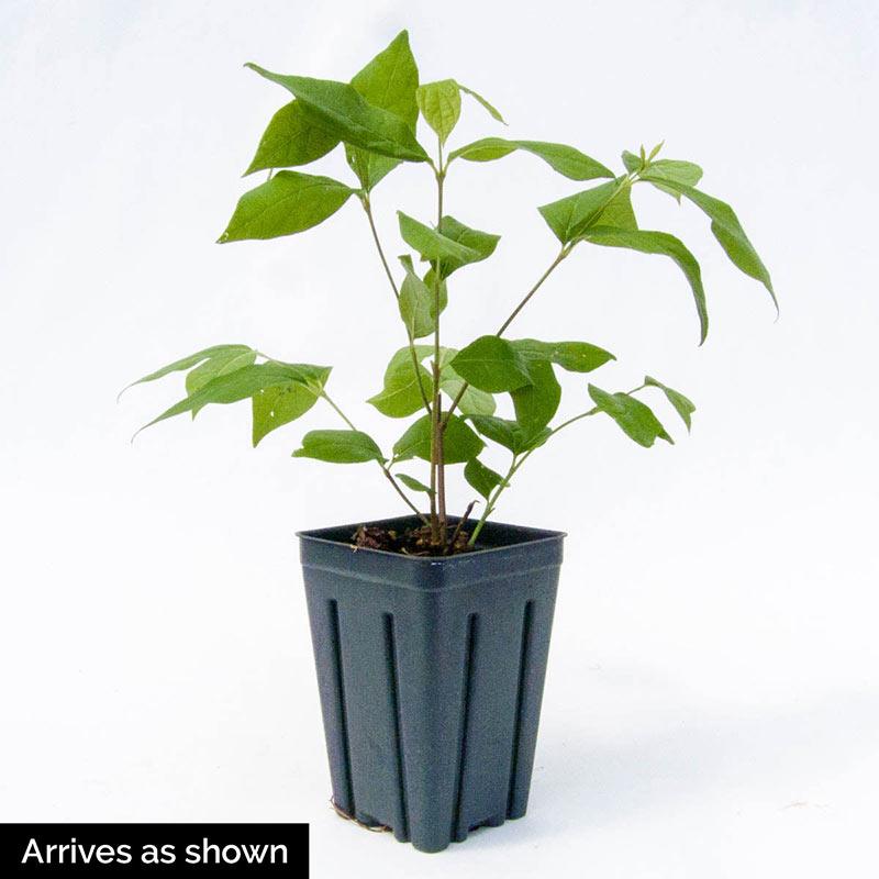 Aphrodite Sweetshrub