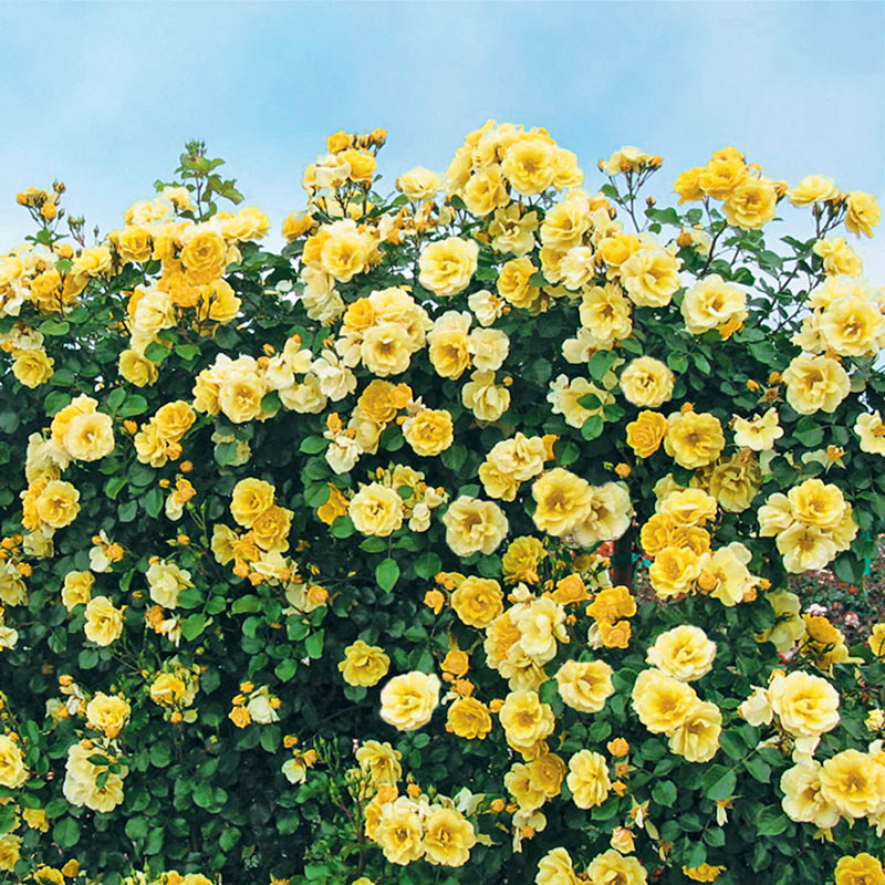 Sky's The Limit™ Climbing Rose