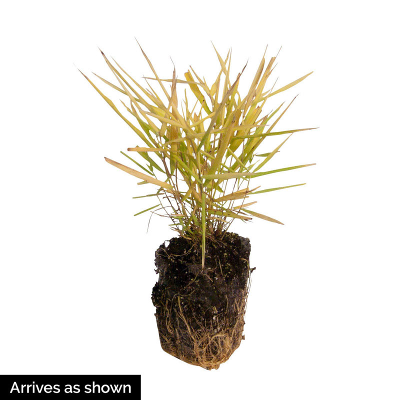 Gold Japanese Forest Grass