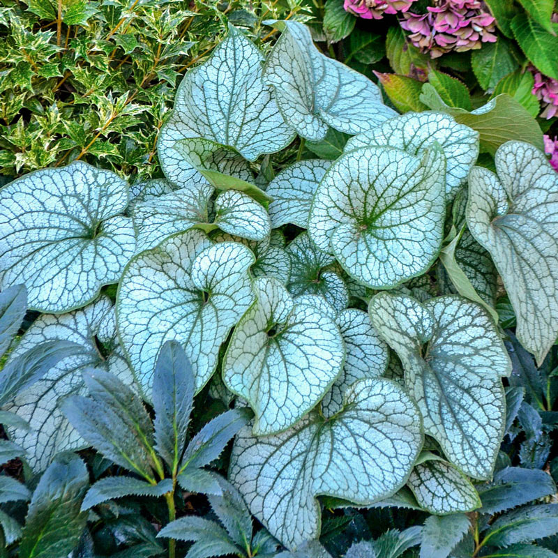 Alexander's Great Brunnera