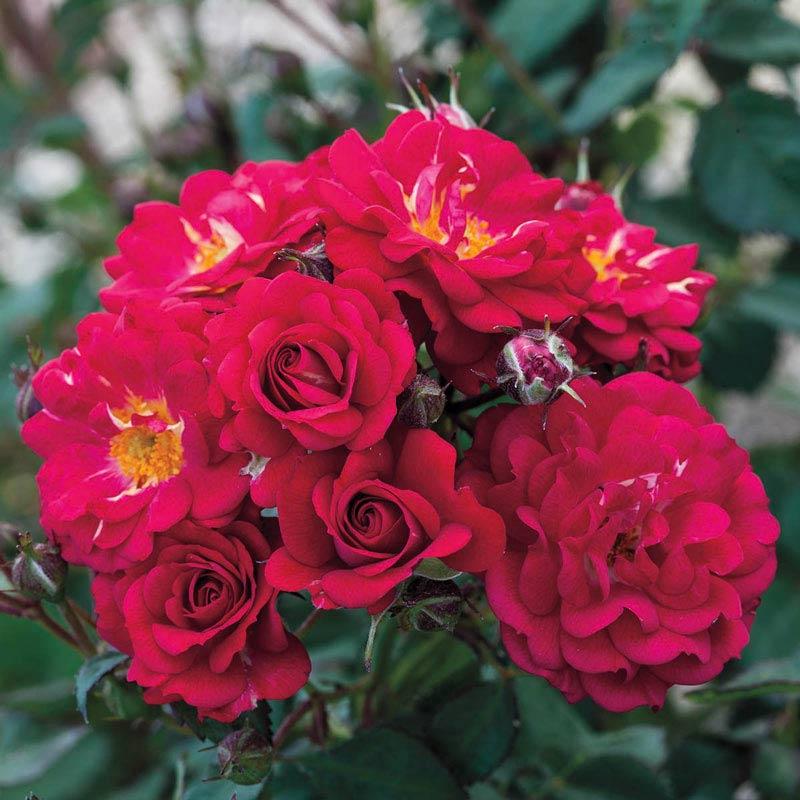Children's Hope Shrub Rose