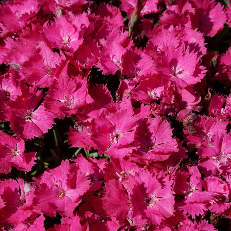 Vivid Bright Light Dianthus