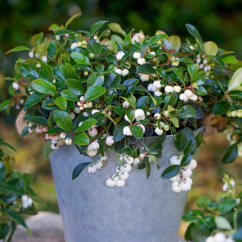 Peppermint Pearl Wintergreen