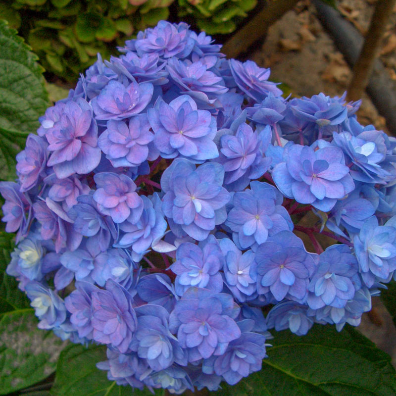 Forever & Ever® Together Hydrangea