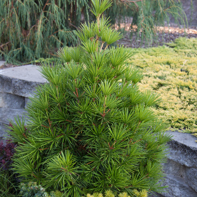 Japanese Umbrella Pine Tree