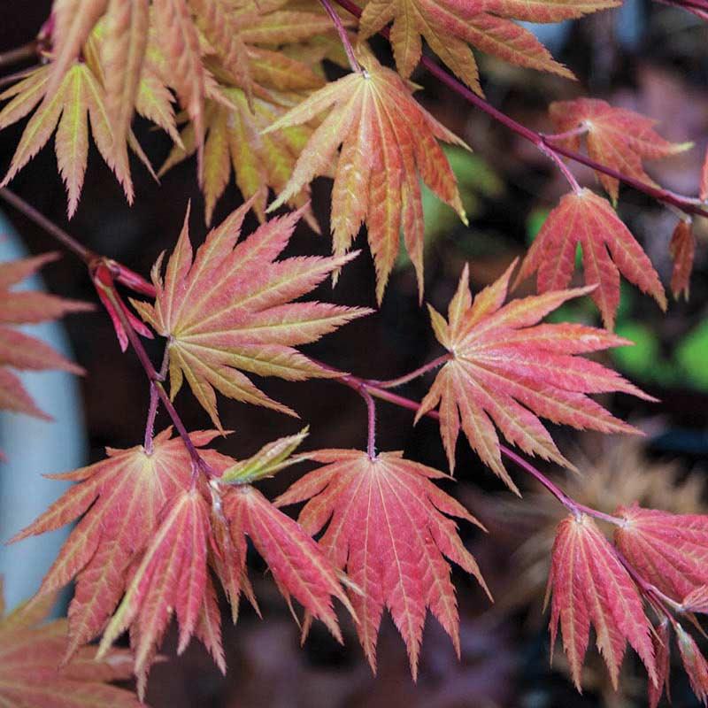 Moonrise Japanese Maple