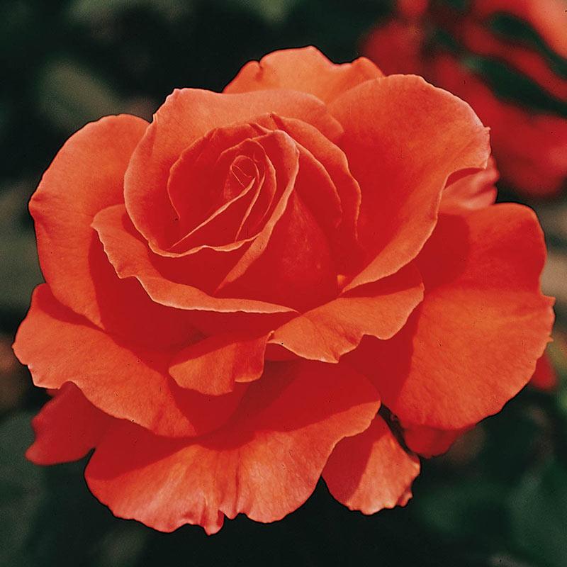 Tropicana Hybrid Tea Jumbo Rose