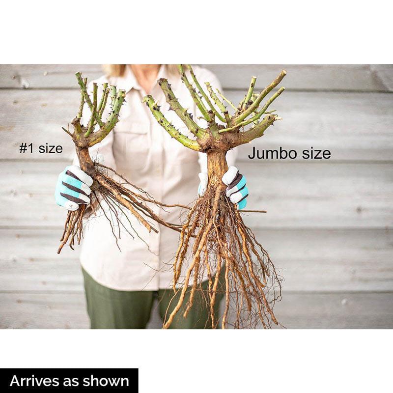 Blaze Improved Climbing Jumbo Rose