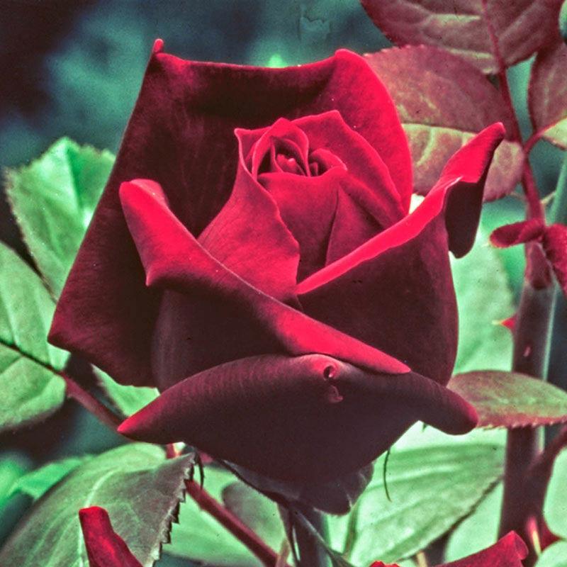 Oklahoma Hybrid Tea Jumbo Rose