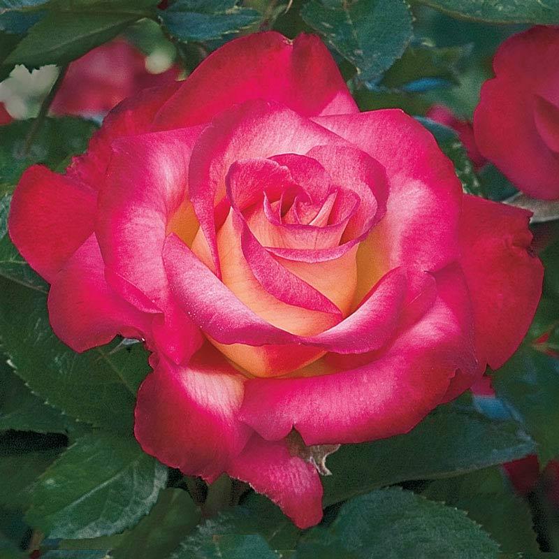 Dick Clark Grandiflora Rose