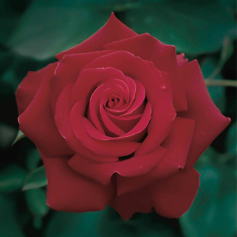 Firefighter® Hybrid Tea Rose