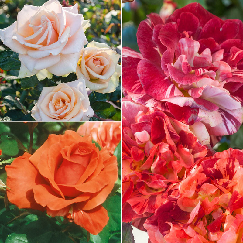 Orange Jumbo Rose Sampler