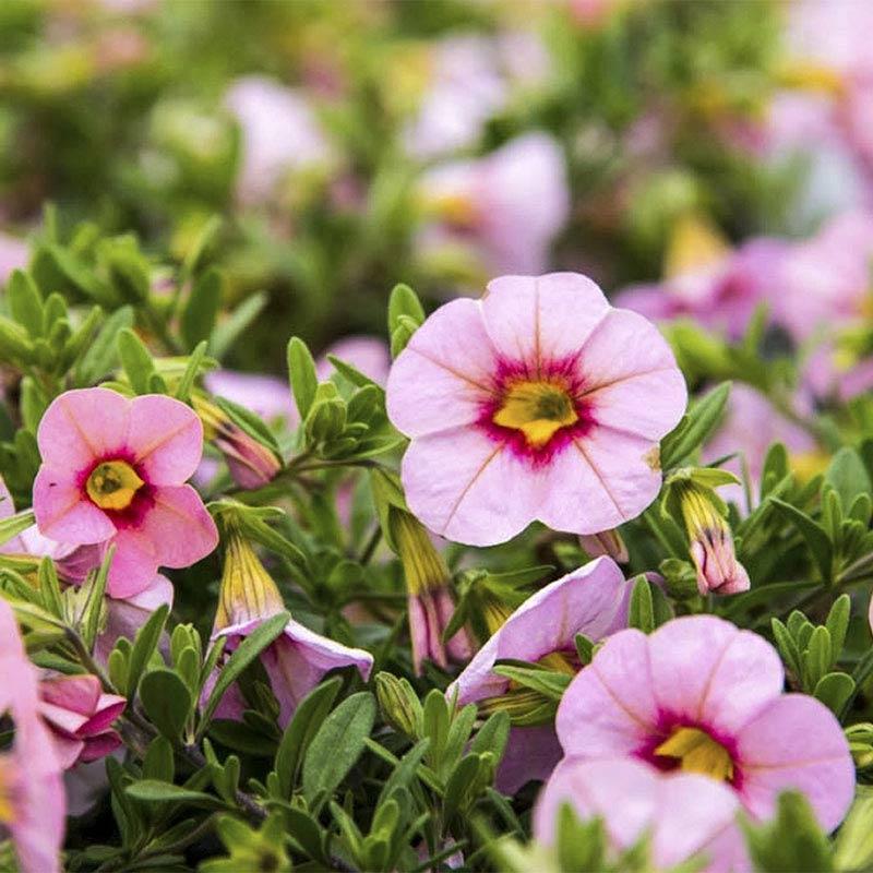 Tiki Soft Pink Calibrachoa