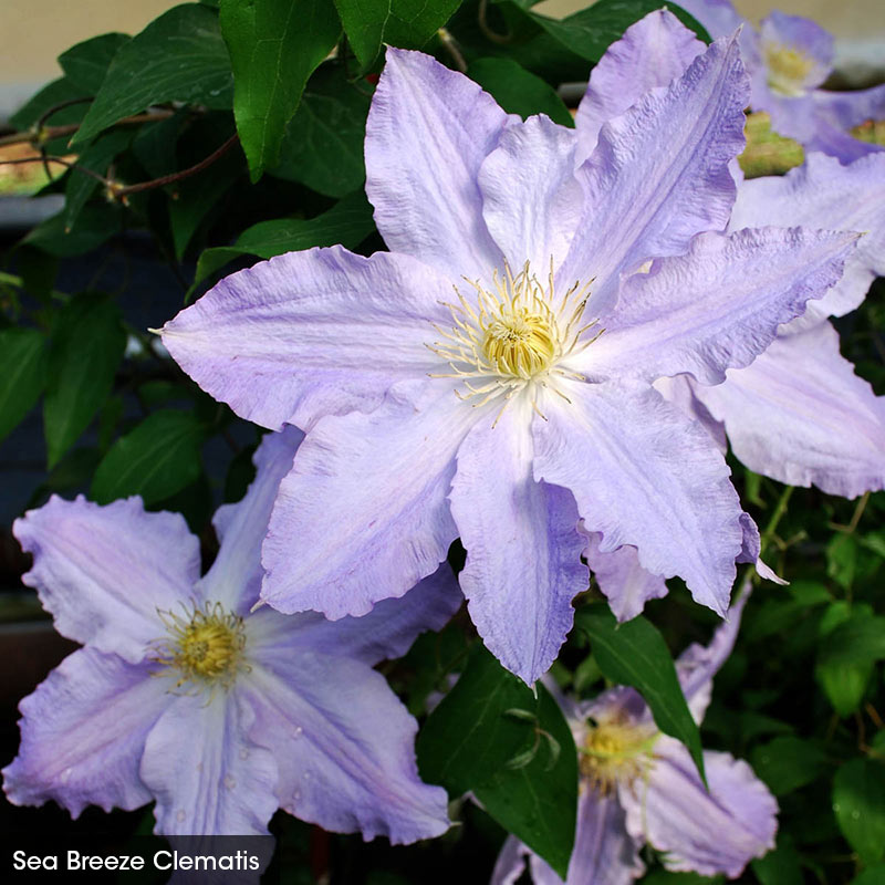Abundant Flowers Clematis Collection
