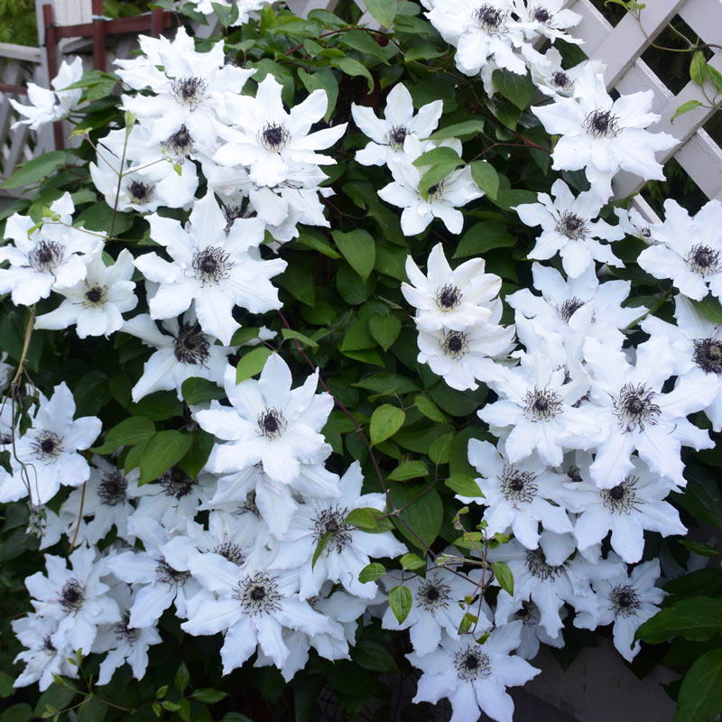Clematis Fragrant Star Vancouver™
