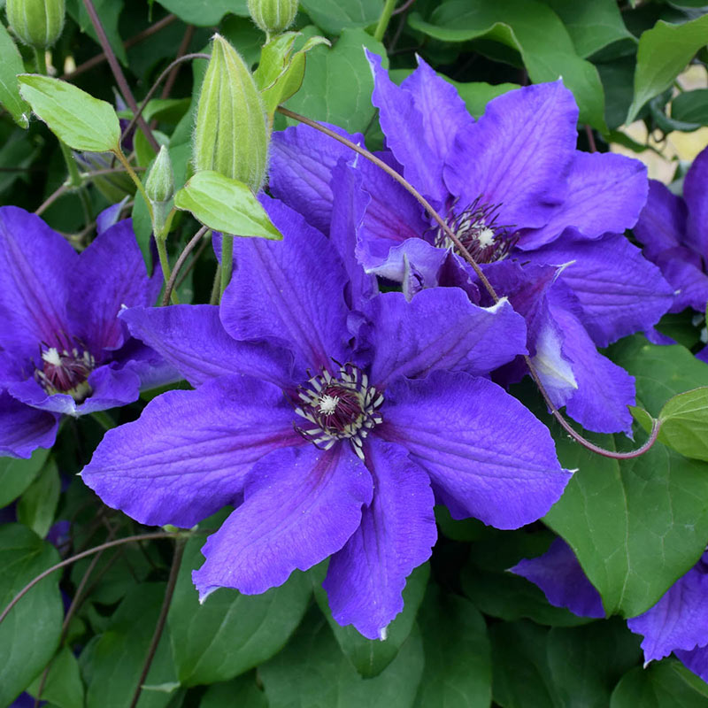 Clematis Danielle Vancouver<sup>™</sup>