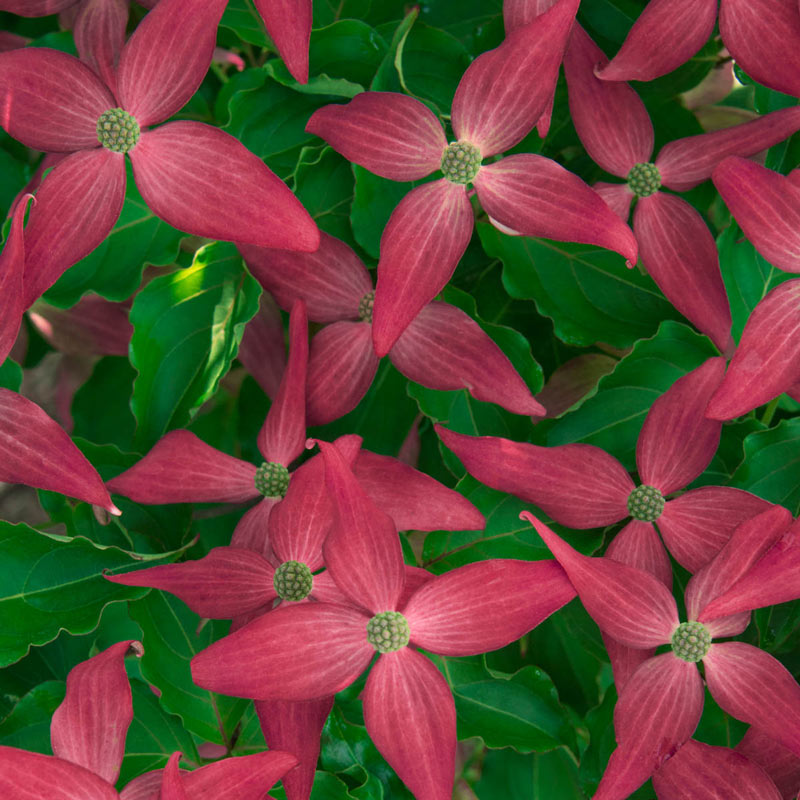 Scarlet Fire Dogwood Tree