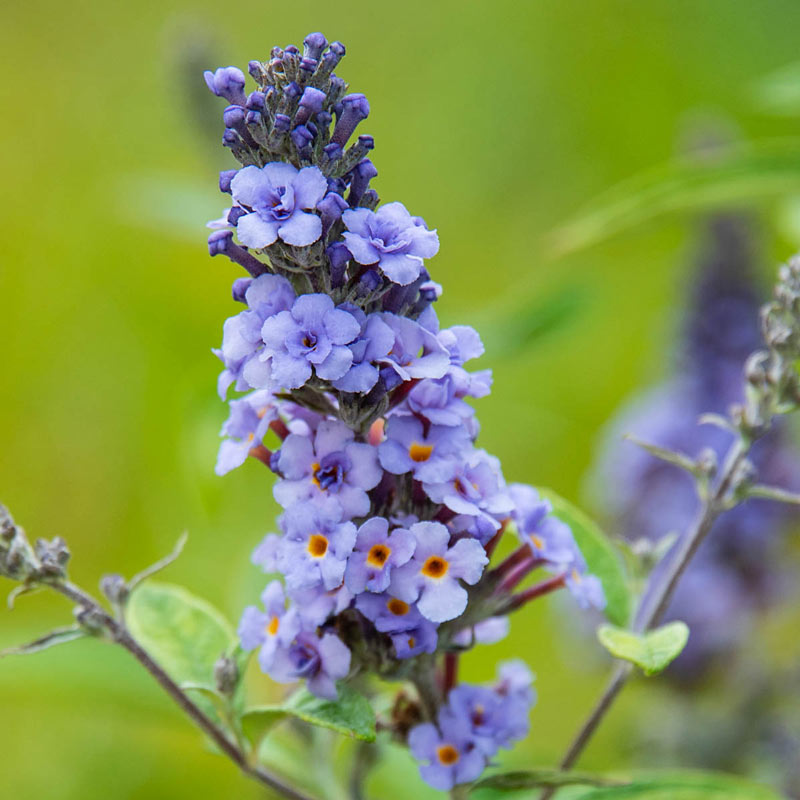 Blue Ribbon Butterfly Bush