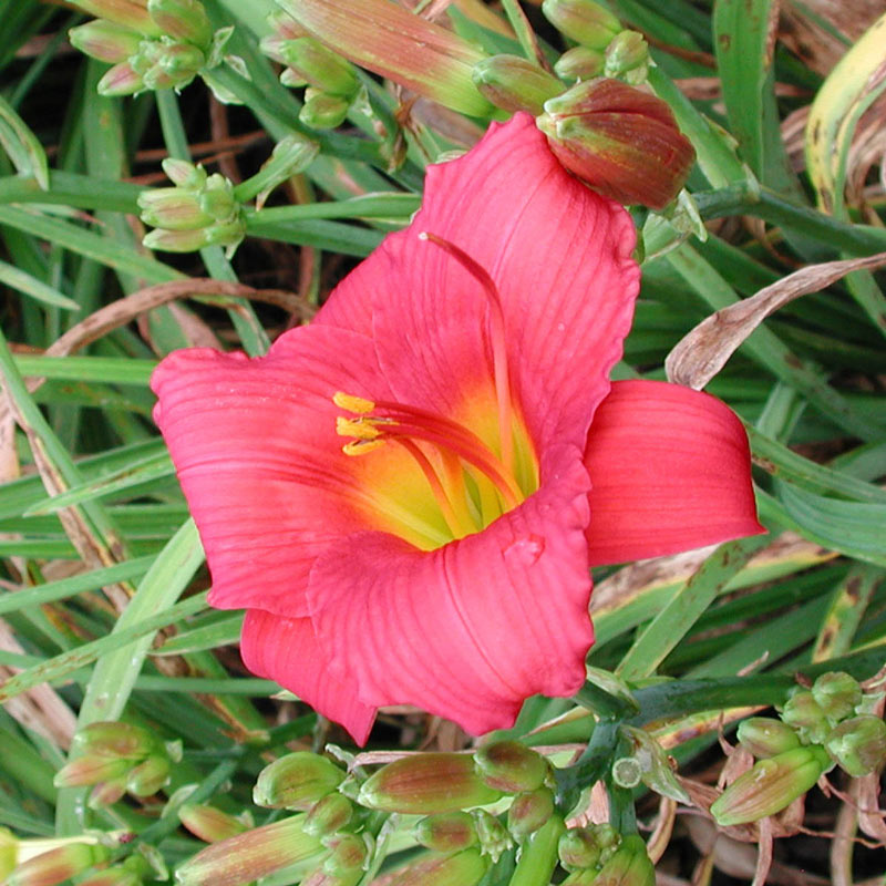 Little Business Reblooming Daylily