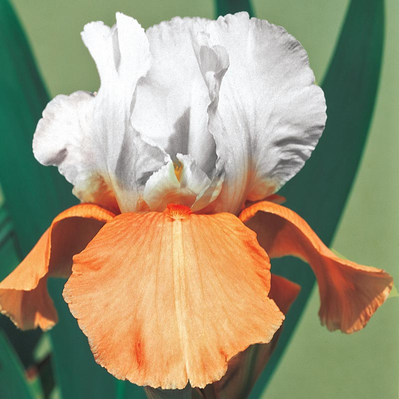 Invitation Reblooming German Iris