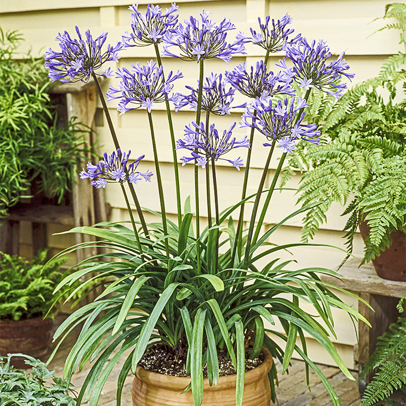 New Agapanthus /'Hoyland Blue/'  garden perennial plant ex 2 litre pot