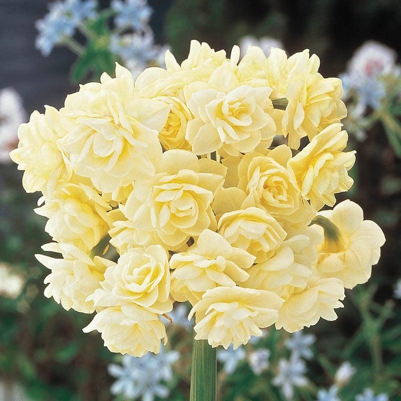 Summer Cheer Daffodil
