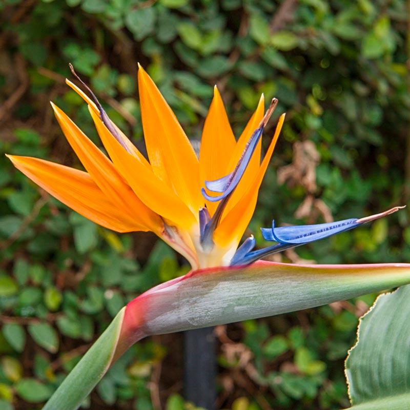 Orange Bird Of Paradise