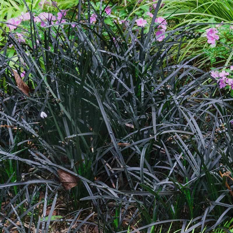 Black Mondo Grass