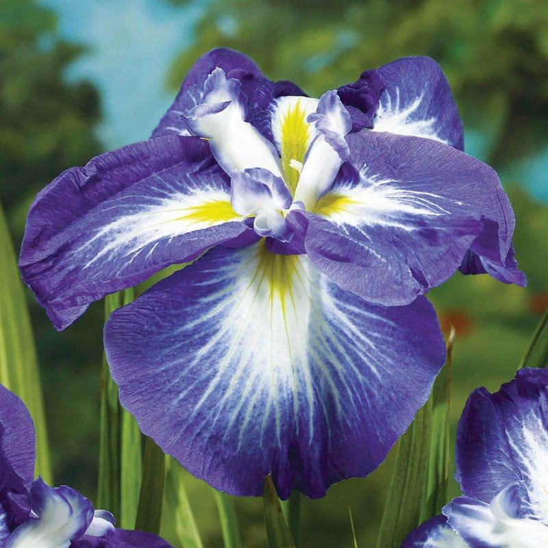 Gusto Japanese Iris