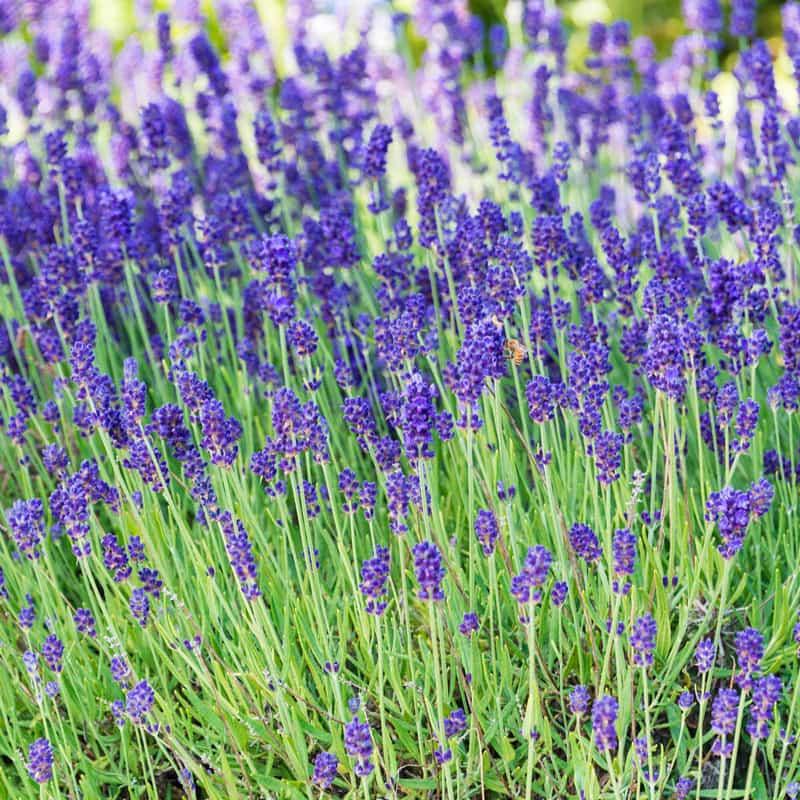 Phenomenal™ Lavender