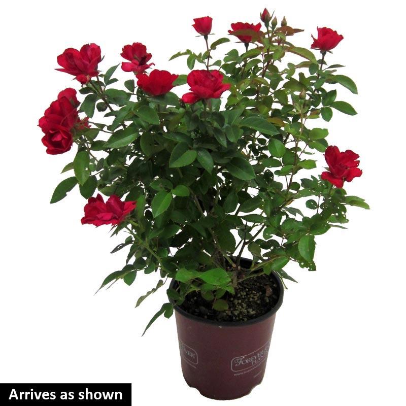 Kardinal Kolorscape® Rose