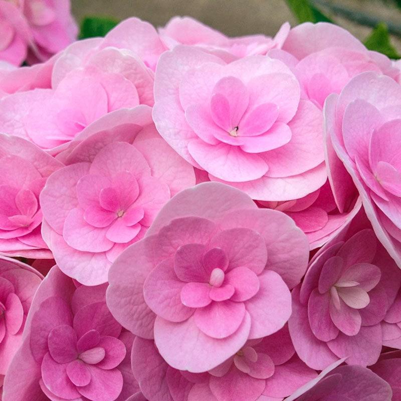 Love Hydrangea