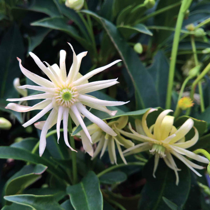 Illicium Star Flower Orion
