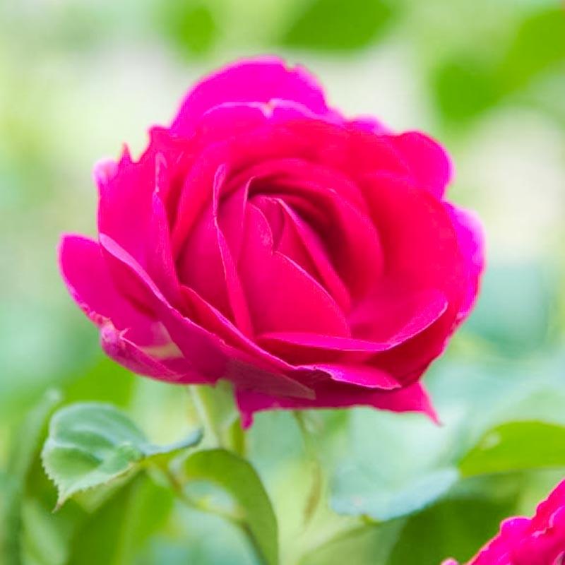 Celestial Night™ Floribunda Rose
