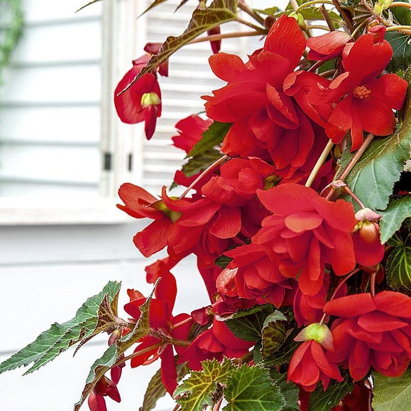 Red Pendula Begonia