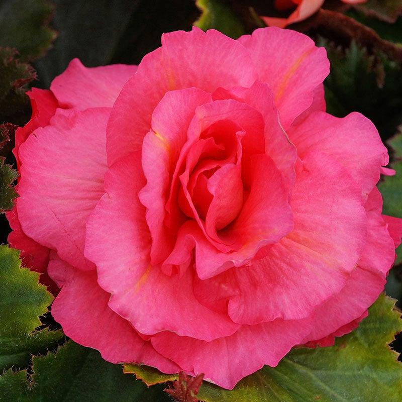 Pink Odorosa Begonia