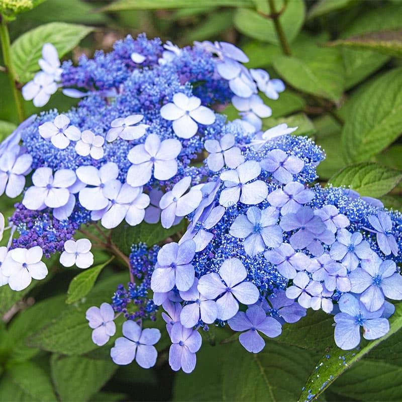 Tellers Blue Hydrangea