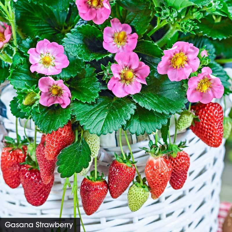 Everbearing Strawberry Sampler