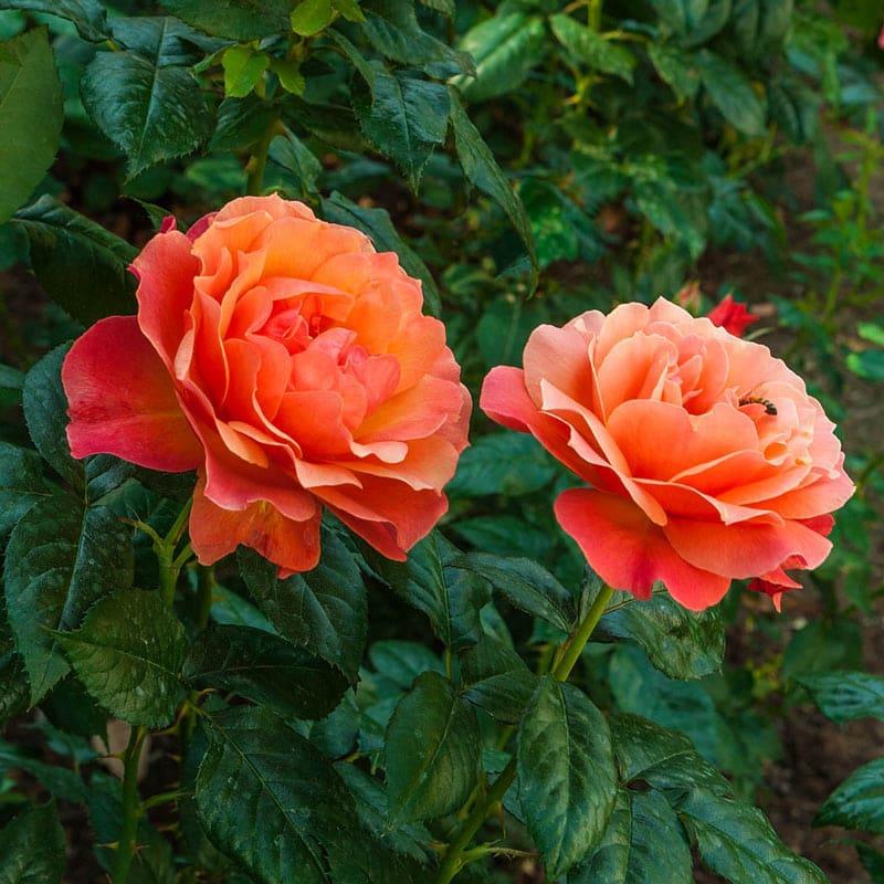 Livin' Easy<sup>®</sup> Floribunda Rose