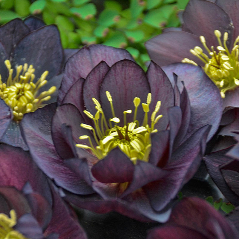 Dark and Handsome Lenten Rose