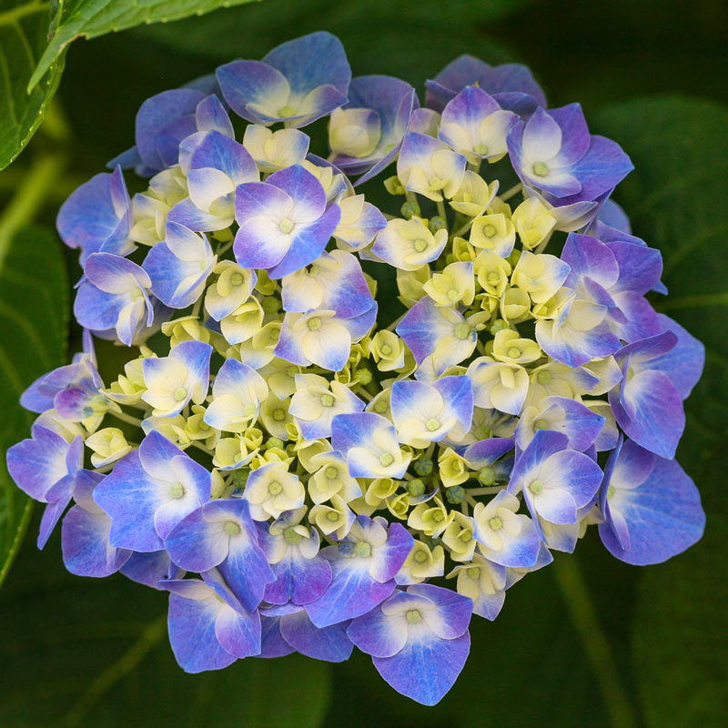 Let's Dance<sup>®</sup> Blue Jangles<sup>®</sup> Reblooming Hydrangea