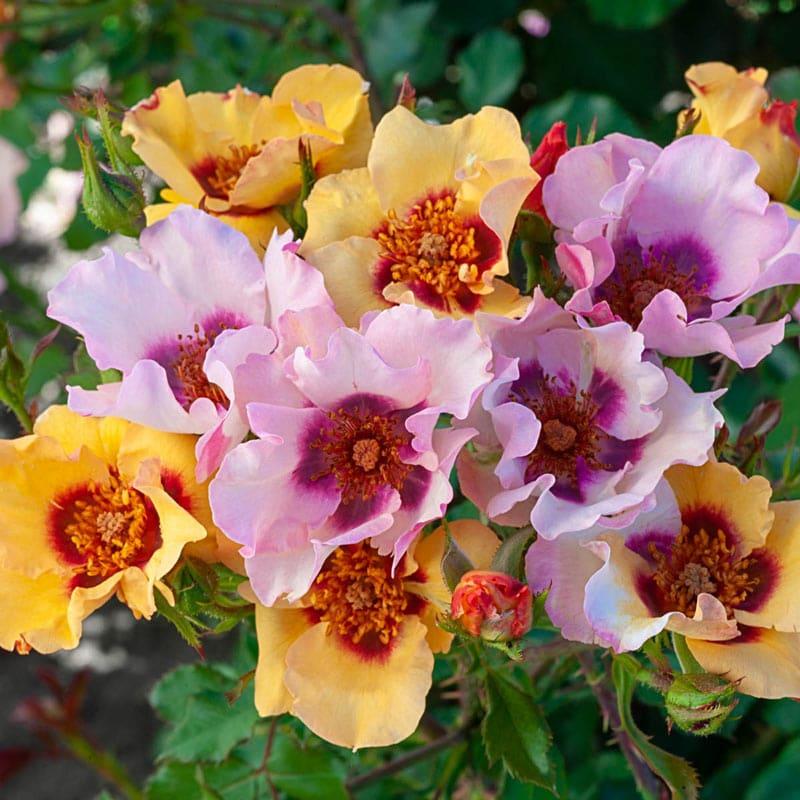 In Your Eyes™ Shrub Rose