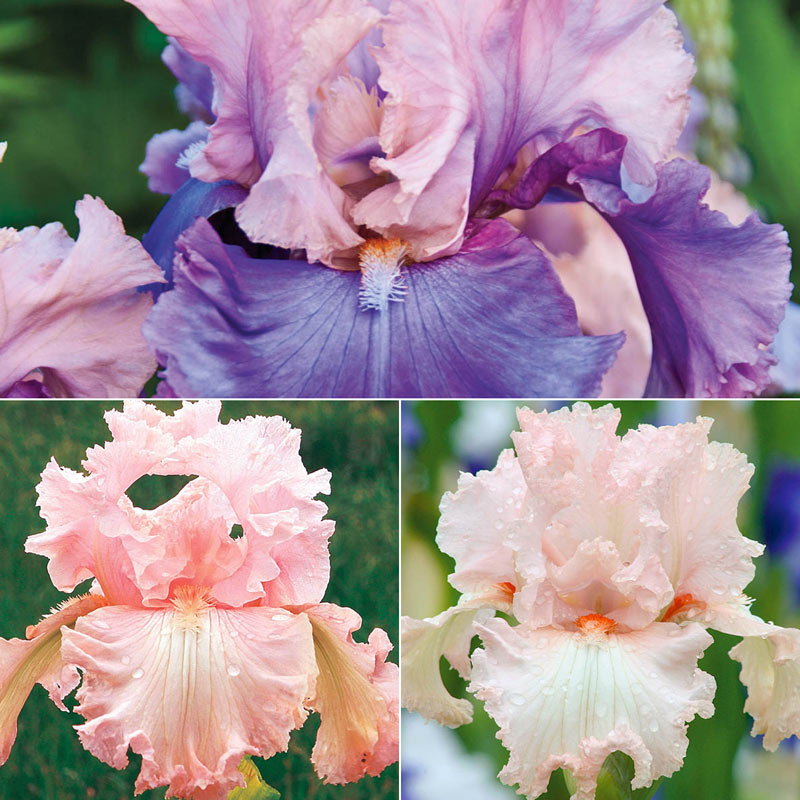 Pretty in Pink Iris Collection
