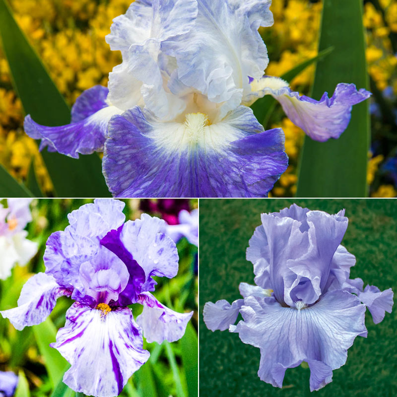 Twice as Blue Reblooming Iris Collection