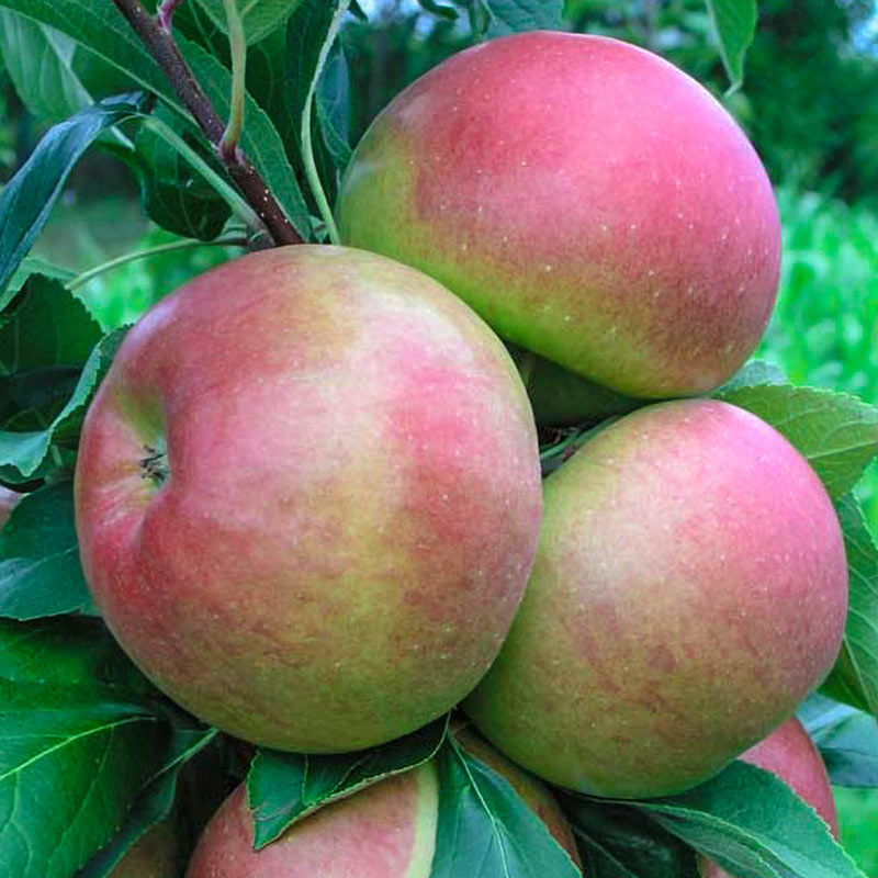 Blushing Delight™ Urban Apple®