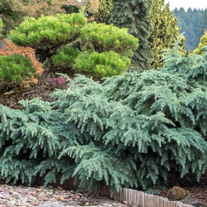 Prostrate Beauty Cedar